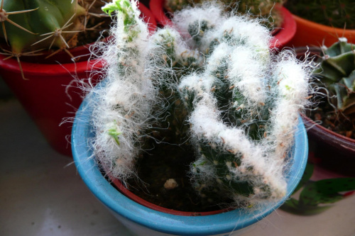 Opuntia vestita f.cristata