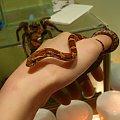 #wąż #zbożowy