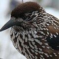 ptak w górach2 #zima #ptak #śnieg #zbliżenie