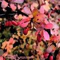 #GrafikaKomputerowa #przyroda #krzak #drzewo #owoce #jesień