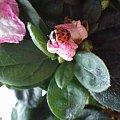 #biedronka #biedronki #kwiat #kwiatek #liście #liść #zielony #różowy