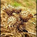 #natura #przyroda #rzepy #łąka