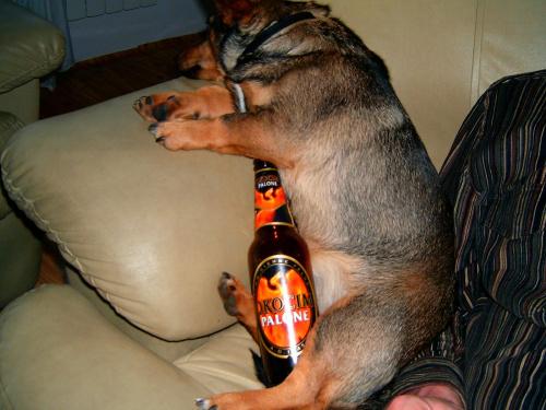 pies alkoholik znudzony i po piwku #pies #alkocholik #smieszne #alkochol #alkohol #piwo #zwierze #zwieze