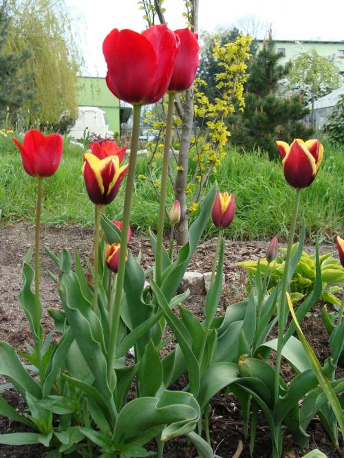 Roślinki prosto z ogródka. #KwiatyRoślinyTulipanyOgród