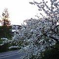 kwitnąca czereśnia- 26.04.2008r-19:22 #czereśnia #drzewa
