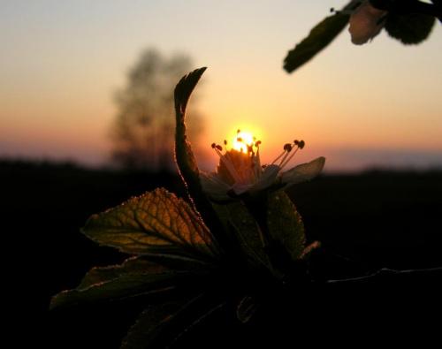 kwiatek i zachód 2 #kwiat #zachód #wiosna