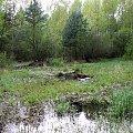Leśne bagno. Nadleśnictwo w Kaletniku gm. Koluszki, #Las #bagno #Nadleśnictwo #Brzeziny #Koluszki #Kaletnik