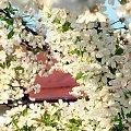 kwiaty, wiśnia #kwiaty #wiśnia