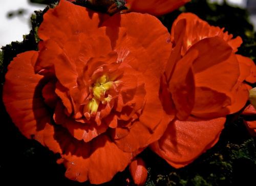 Begonia #kwiaty #ogrodek #hobby
