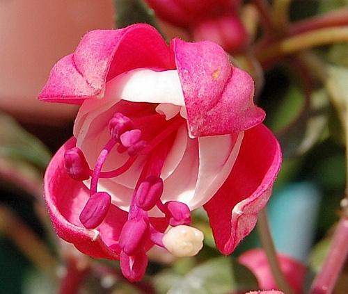 Fuksja #ogrodek #kwiaty #hobby
