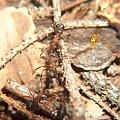mrówki rudnice #przyroda #natura #zwierzęta #owady #mrówki #makrofotografia