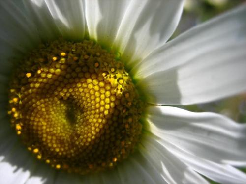 Gdzie strumyk płynie z wolna, rozsiewa zioła maj... #łąka #stokrotka