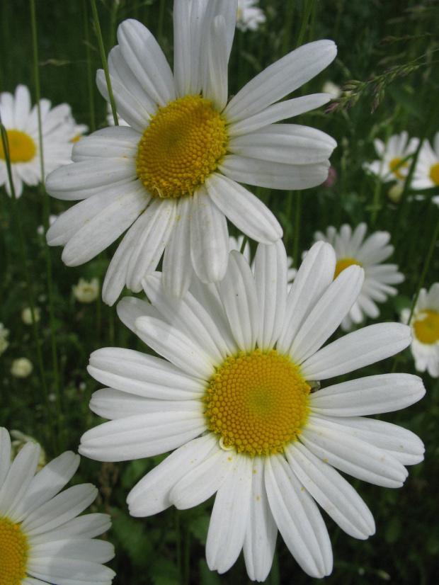 #kwiaty #margerytki #stokrotki #łąka