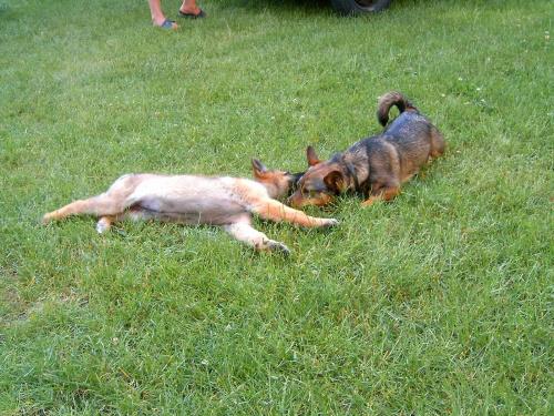 zabawa psów(prawie jak walka)4 #dog #mlody #OwczarekNiemiecki #pies #piesek #rasa #rasowy #rodowod #suczka #szczeniak #kundel #zabawa #walka #zlosc #rodzina #glupota #miki #szczur