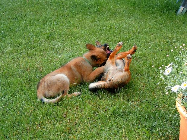 zabawa psów(prawie jak walka) 8 #dog #mlody #OwczarekNiemiecki #pies #piesek #rasa #rasowy #rodowod #suczka #szczeniak #kundel #zabawa #walka #zlosc #rodzina #glupota #miki #szczur