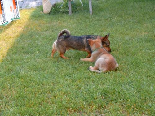 zabawa psów(prawie jak walka)1 #dog #mlody #OwczarekNiemiecki #pies #piesek #rasa #rasowy #rodowod #suczka #szczeniak #kundel #zabawa #walka #zlosc #rodzina #glupota #miki #szczur