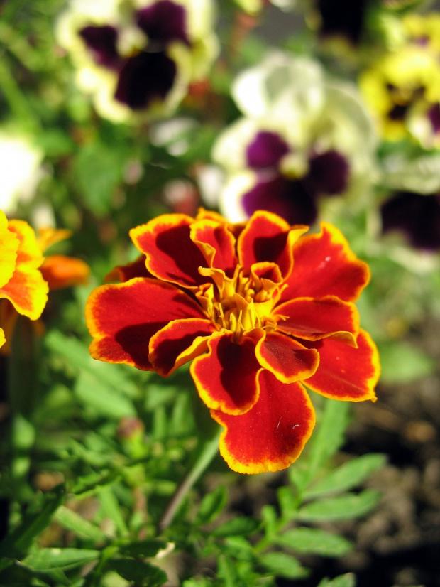 #czerwiec #kwiaty