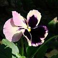 #bratki #kwiaty