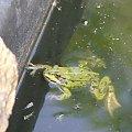 żaba #zwierzęta #wodne