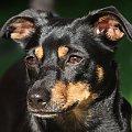 #Kora #pies #zwierzęta #przyroda