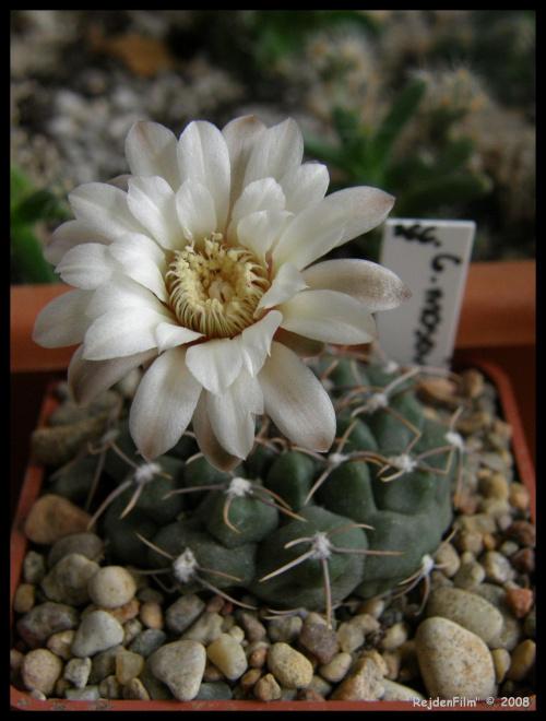366.Gymnocalycium moserianum
