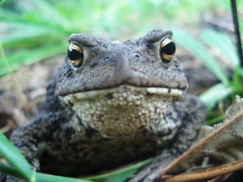 #żaba #żaby #zwierzęta #natura