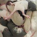 #SzczurRasowy #szczurek #emerald #moon #rodowód #rasa #miot #maluchy