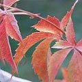 #jesień #ogród #DzikieWino