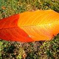 jesienny złoty liść #lisc #liść #zółć #kolor #złoto #barwa #barwy #kolory #jesien #jesień #piękno #natura #przyroda #macro #PaletaBarw #tęcza