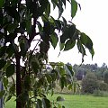 #roślina #krzew #beniamin #beniaminek
