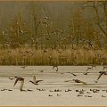 Taki mały popłoch #jesień #ptaki #czapla #woda