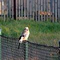 #ptak #sójka