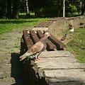 #gołąb #ptak #ptaki #trawa #zwierzęta #ławka